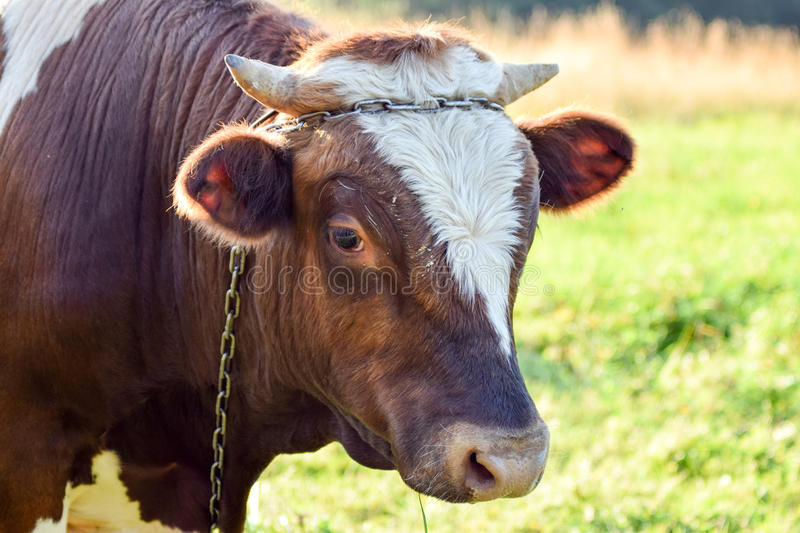 Watching cow stock images