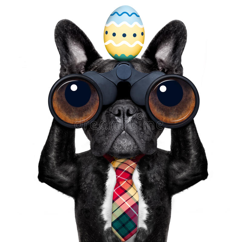 Watching dog with binoculars at easter. Binoculars french bulldog dog with easter egg ,isolated on white background stock photo