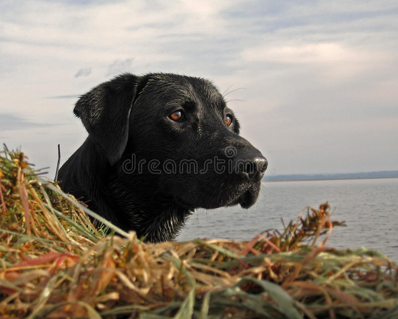 Watching the flock. Black Labrador Gordy watching the flocks of ducks as they move closer to the Decoys royalty free stock photography