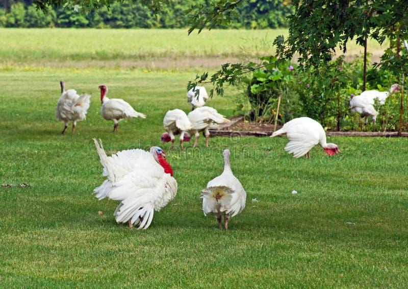 Watching the flock. Tom turkey oversees the flock of free range turkeys stock photo