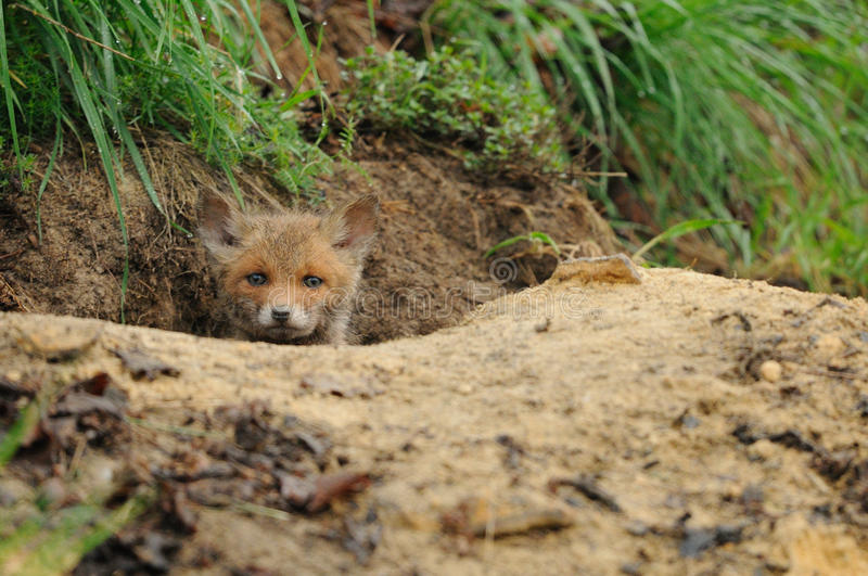 Watching Fox. This puppy fox is watching out of the hole in the earth of a meadow royalty free stock photo