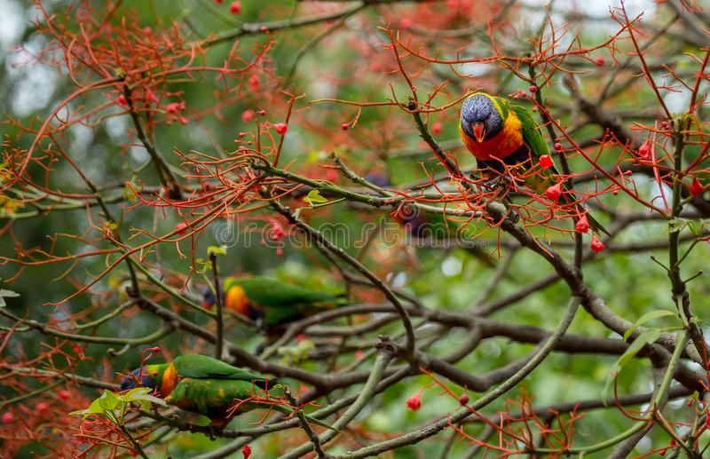 Watching with interest. Two rainbow lorikeets in the flowers of an illawara flame tree with more birds visible in the background stock photo