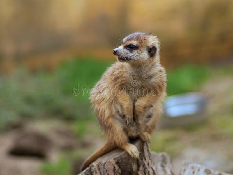 Watching suricata. The meerkat or suricate (Suricata suricatta) is small carnivoran. It is only member of the genus Suricata. Meerkats live in Kalahari, Namib stock photo