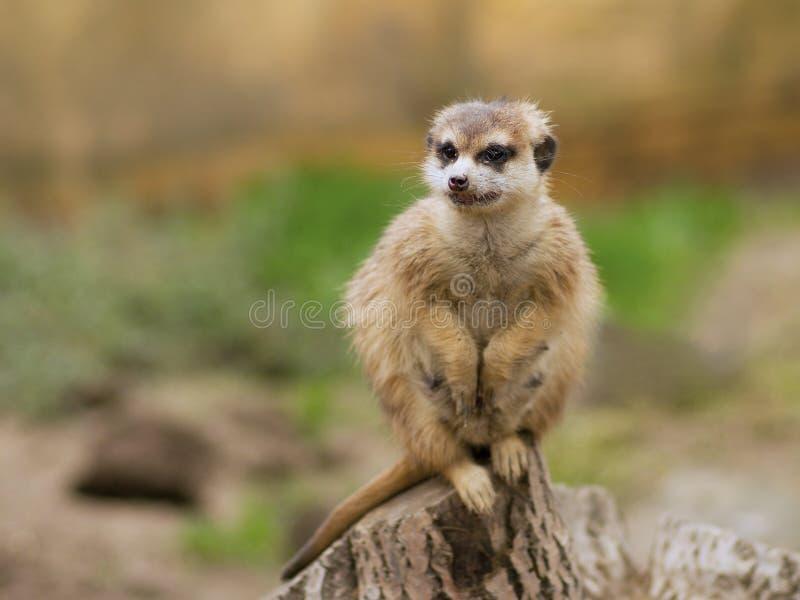 Watching suricata. The meerkat or suricate (Suricata suricatta) is small carnivoran. It is only member of the genus Suricata. Meerkats live in Kalahari, Namib royalty free stock photography