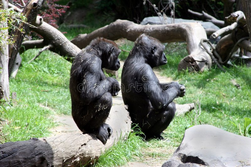 Watching and Waiting. Two Gorillas watching something in the distance royalty free stock photography