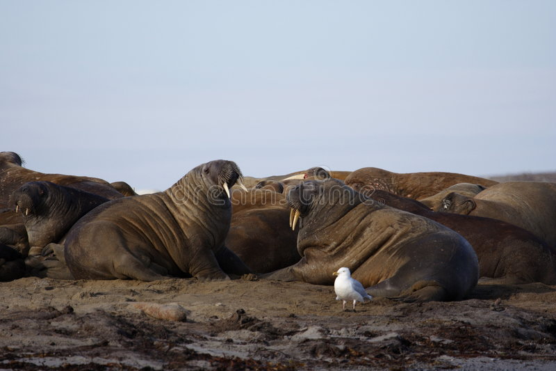Watching a Walrus haulout royalty free stock photo
