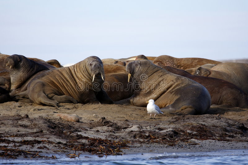 Watching a Walrus haulout stock photos