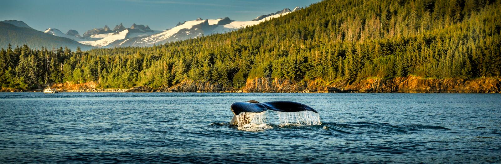 Watching whale diving and swimming in Alaska royalty free stock image