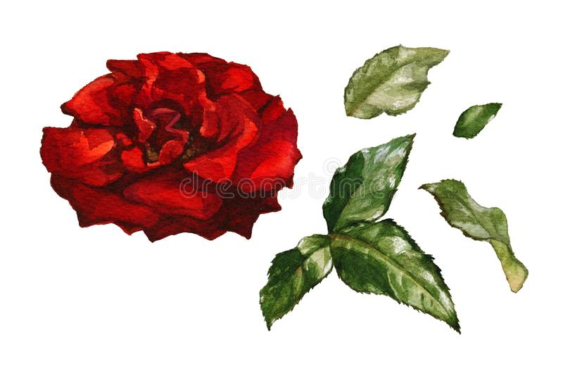 Watecolor red rose. Watercolor red rose and leaves on white background vector illustration