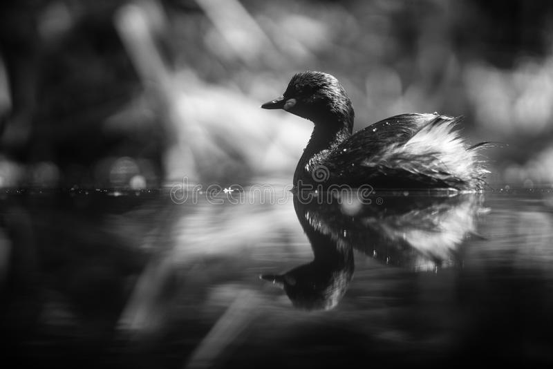 Water bird. Black and white animals portraits stock images