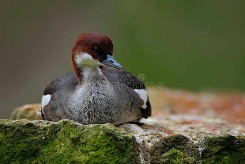 Water bird duck Smew, Mergus albellus, sitting on the stone. Water bird duck Smew, Mergus albellus, sitting on the stone, Germany royalty free stock photography