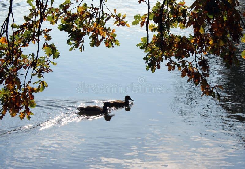 Water, Water Bird, Duck, Tree stock photography
