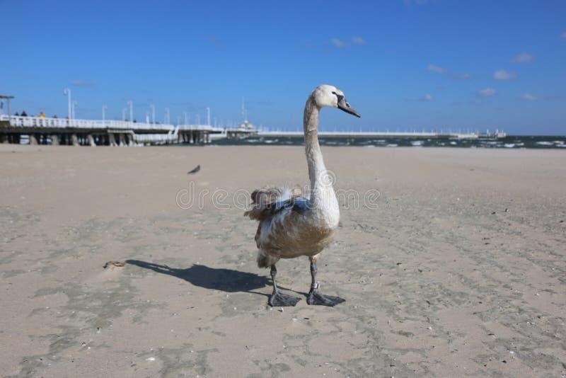 Water Bird, Ducks Geese And Swans, Bird, Swan Free Public Domain Cc0 Image