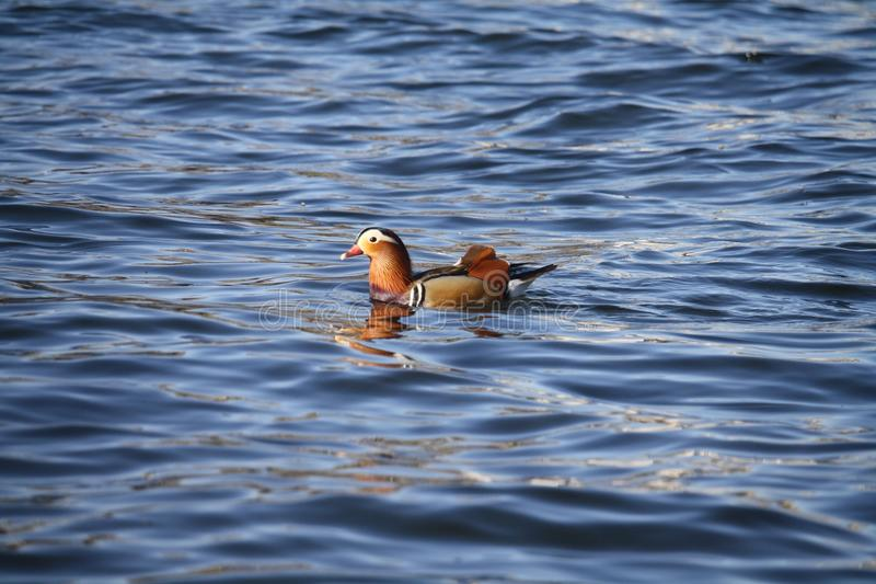 Water, Bird, Fauna, Duck stock photo