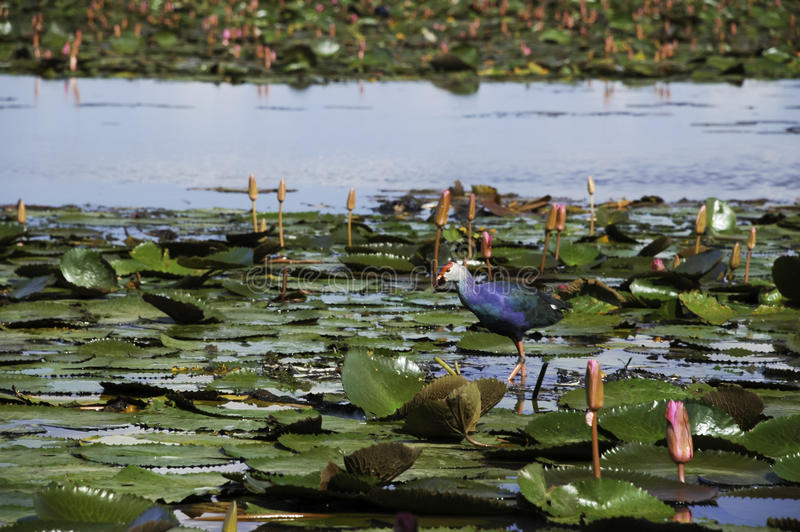 Download Water Bird Live In The Park Stock Image - Image of blue, colorful: 26504757