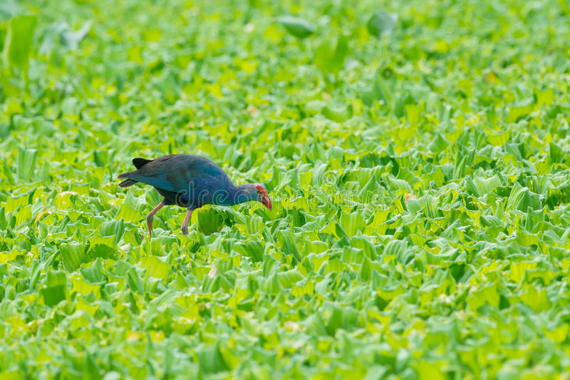 Water Bird walking overplant (Purple Swamphen) as background.  royalty free stock photo