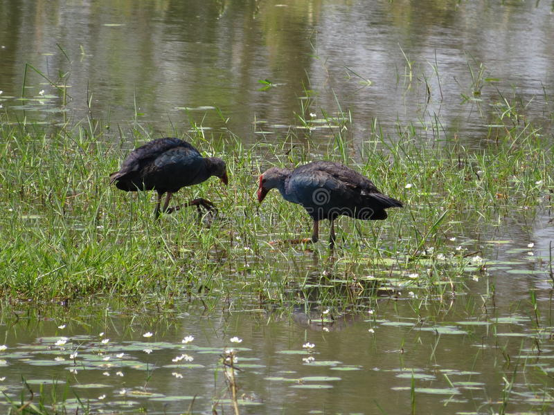Water Birds royalty free stock photography