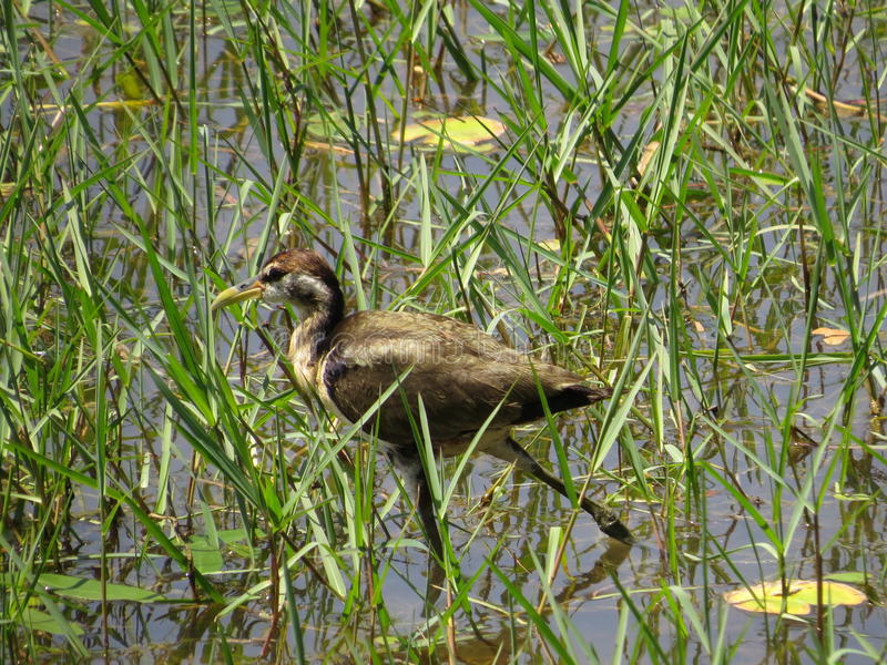 Water Birds royalty free stock photo