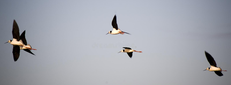 Water Birds in Flight. Five water birds take to flight stock photos