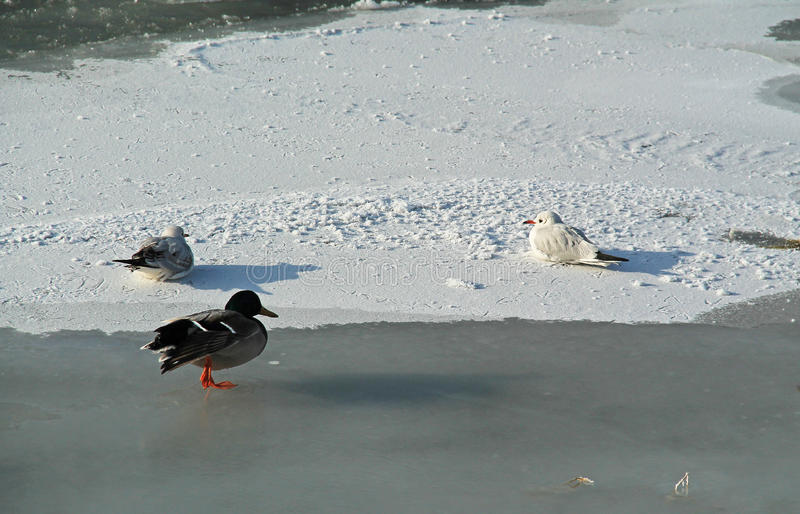 Download Water Birds On Ice Stock Photo - Image: 83711151