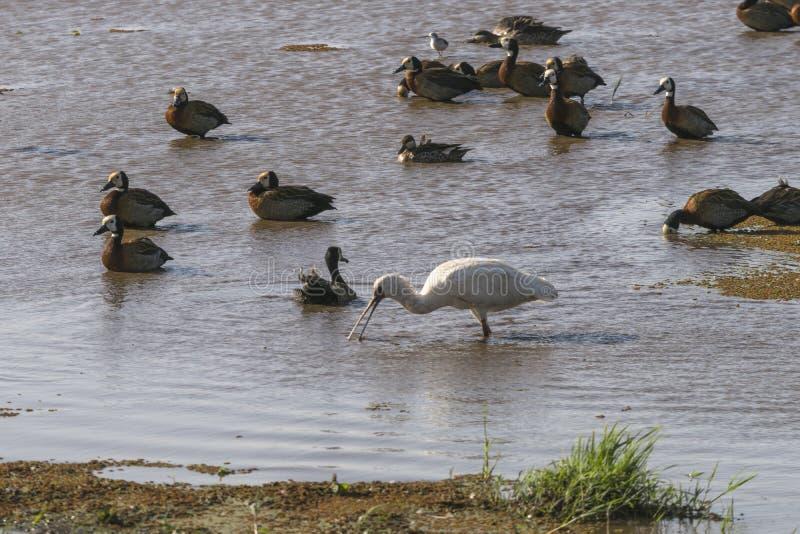 Water birds in Lake Manyara royalty free stock photos
