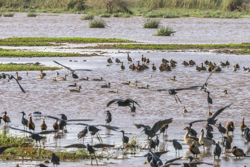 Water birds in Lake Manyara royalty free stock photography