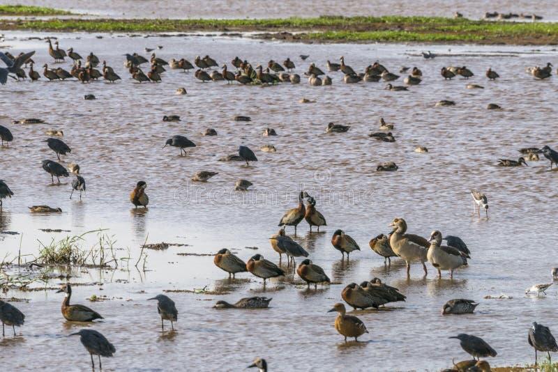 Water birds in Lake Manyara stock image