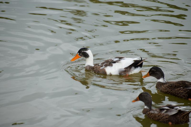 Duck swimming in a pond stock photos
