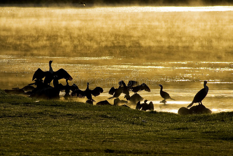 Water Birds at Sunrise royalty free stock images