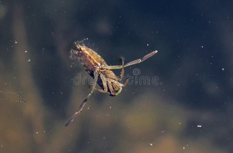 Water Boatman. Fly upside down on the surface of a pond royalty free stock photography