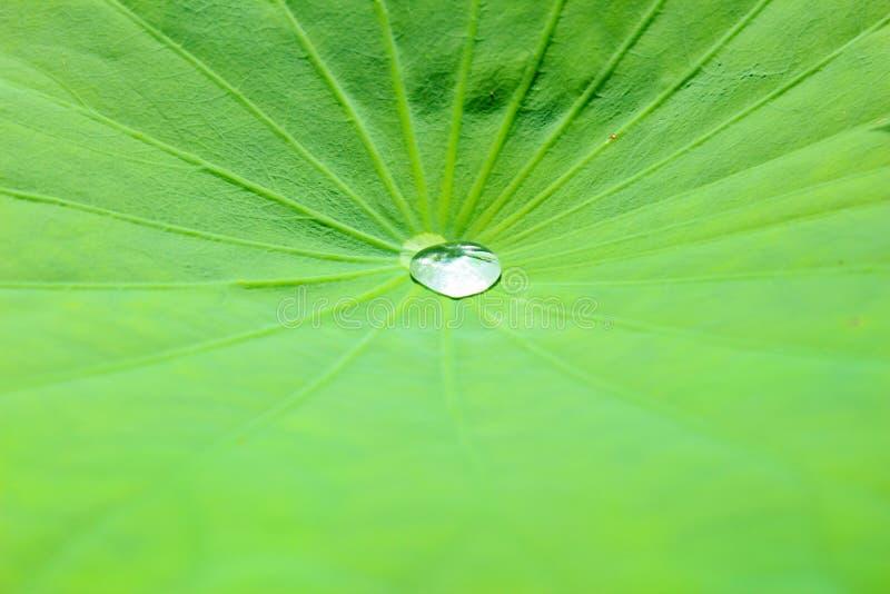 Water bollrullningen på den stora lotusblommaleafen   royaltyfria foton