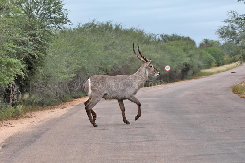 Water buck with long horns crossing road royalty free stock photography