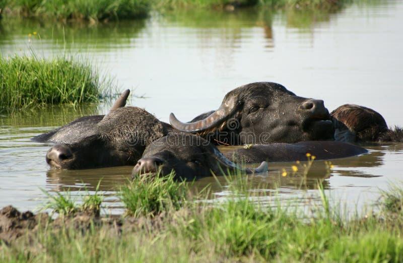Water-buffalo stock photo