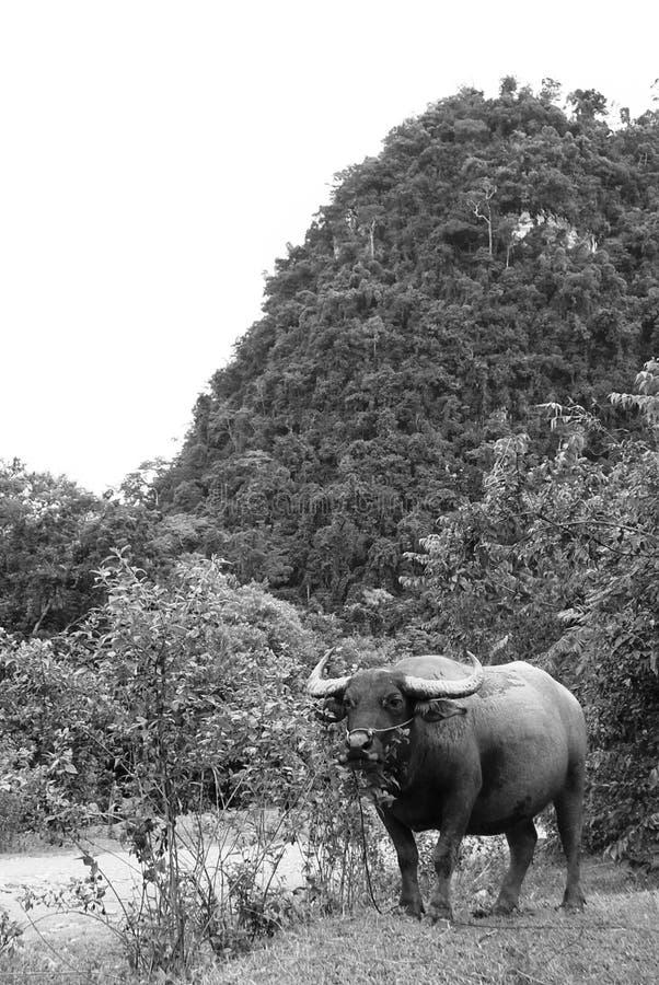 Download Water Buffalo stock photo. Image of buffalo, bovine, black - 22053612