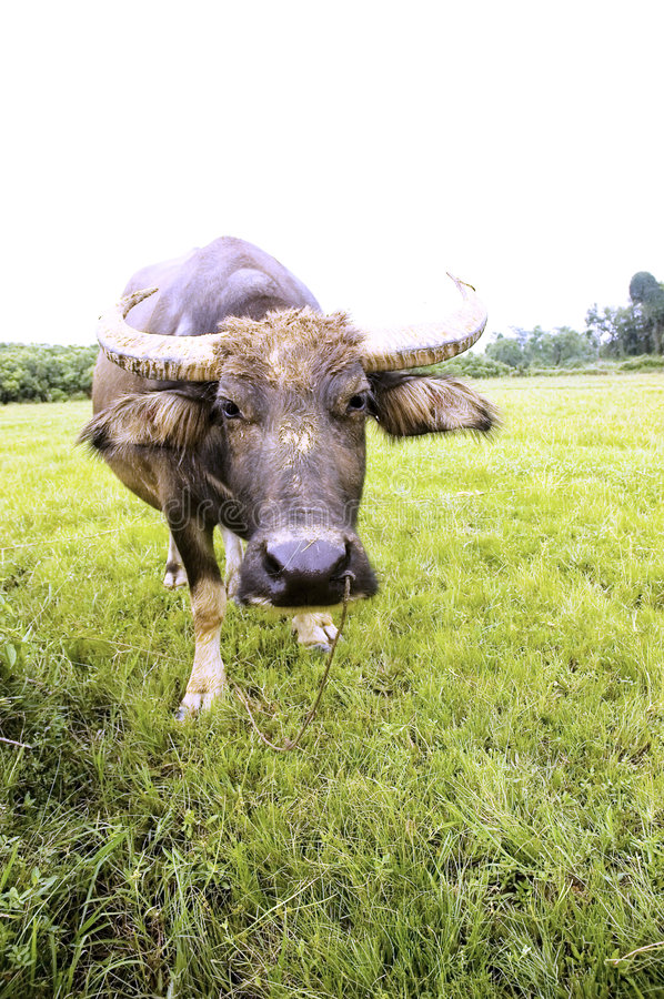 Download Water buffalo stock photo. Image of moggy, animals, pets - 5927620