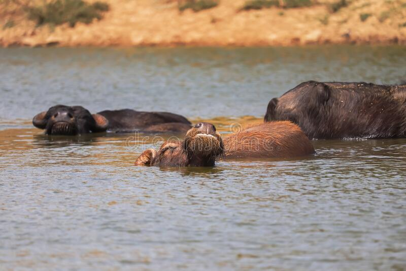 The water buffalo (Bubalus bubalis) or domestic water buffalo is a large bovid originating in the Indian subcontinent. Southeast Asia,Indian buffalo stock photo