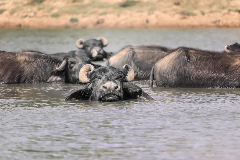 The water buffalo (Bubalus bubalis) or domestic water buffalo is a large bovid originating in the Indian subcontinent,. Southeast Asia,Indian buffalo royalty free stock photography