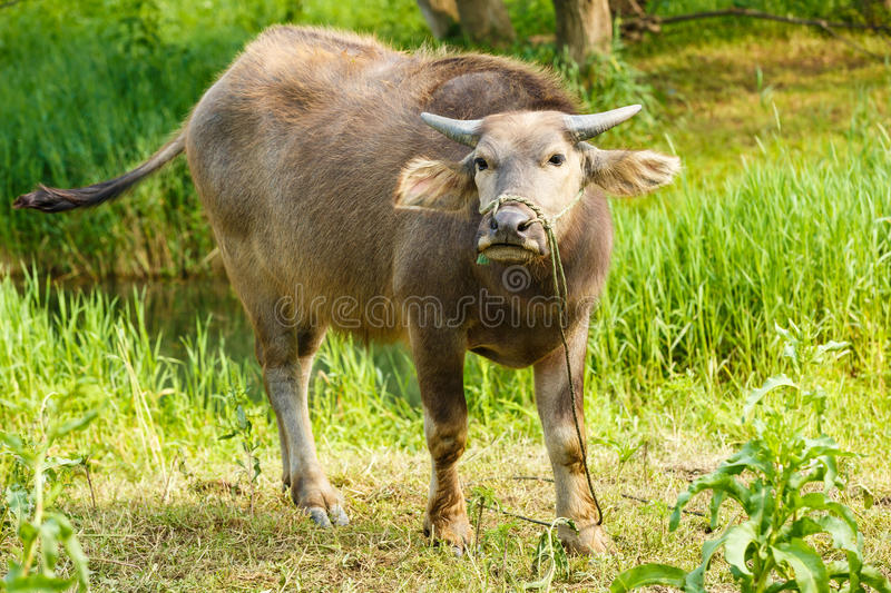 Download Water Buffalo In The Country Farm Stock Image