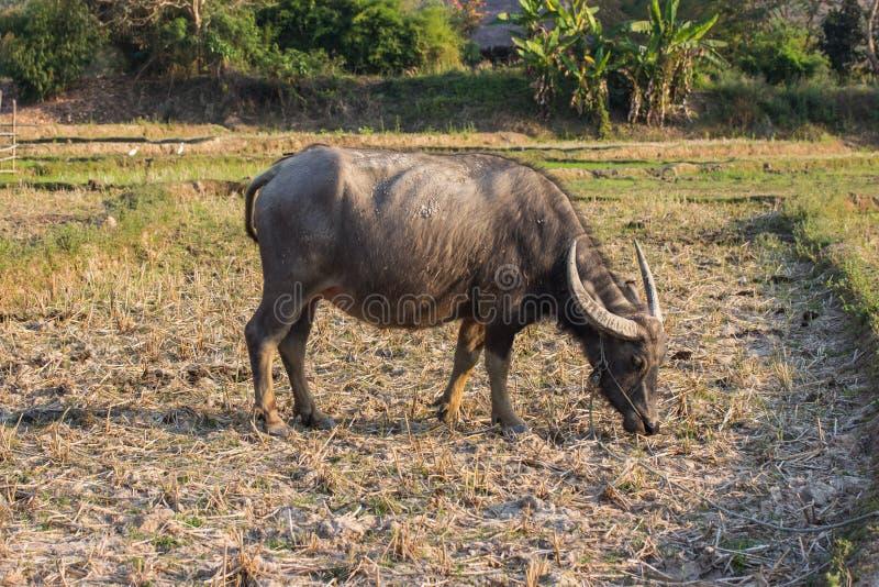 Water buffalo or domestic Asian water buffalo. Bubalus bubalis royalty free stock image