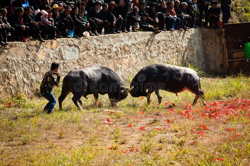Water buffalo fighting festival in Heko Village Guizhou Province China royalty free stock photos