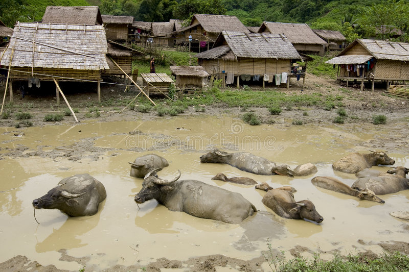 Water buffalo in front of Hmong village, Laos. In a dirty pond royalty free stock photos