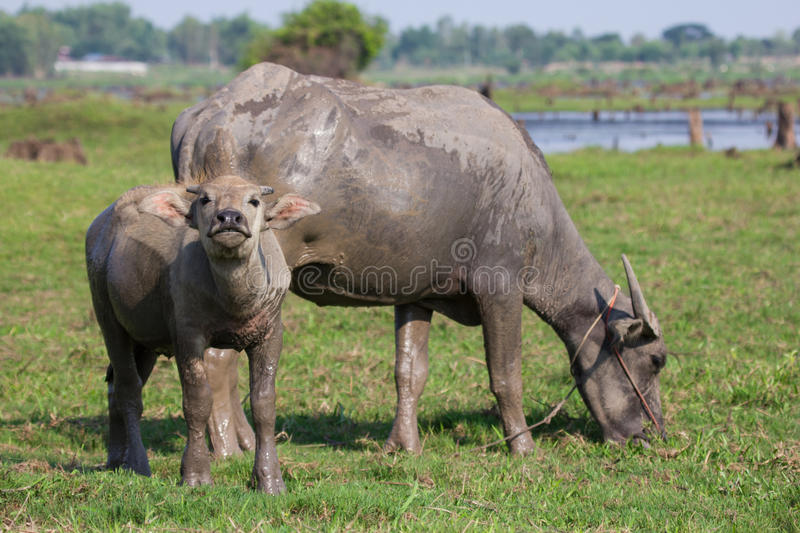 Download Water buffalo stock image. Image of buffalo, cultivate - 40520503