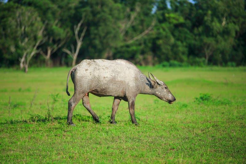 water buffalo stock photo  image of image  field  weather