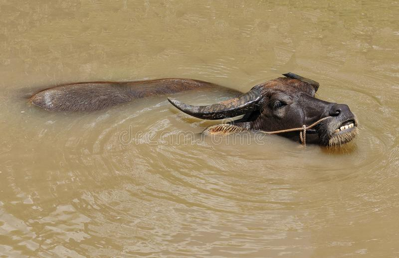 Water buffalo in the Mekong delta stock image