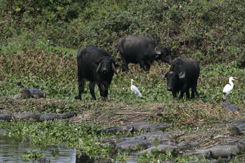 Water buffalo royalty free stock image
