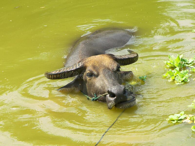 Water buffalo pond brown. Brown water buffalo refreshing inside a green pond royalty free stock photography