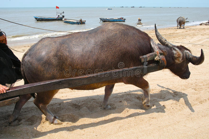 Download Water buffalo stock photo. Image of water, rural, mammal - 39510074