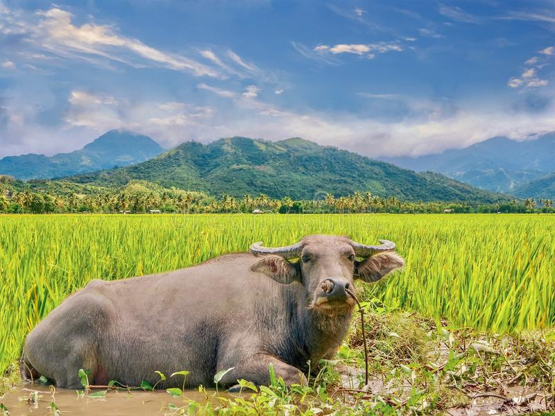 A water buffalo relaxing in a rice paddy in the Philippines. royalty free stock image