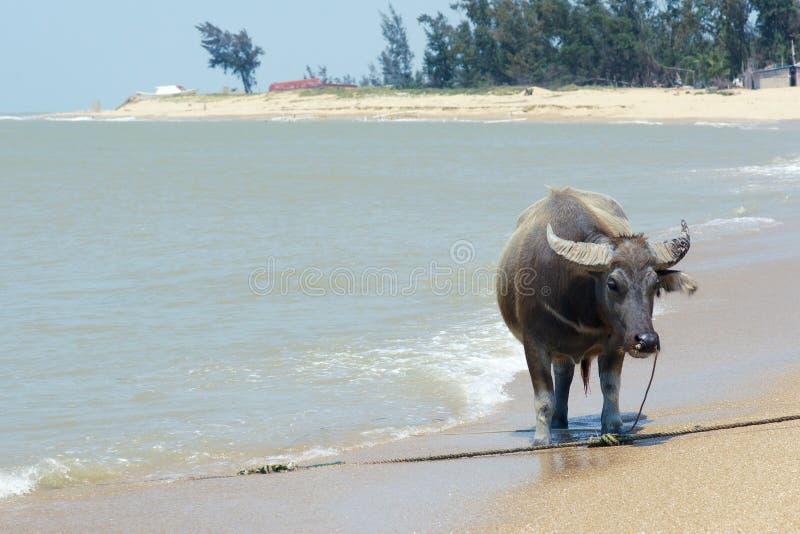 Download Water buffalo stock photo. Image of sandy, tropics, buffalo - 39510220