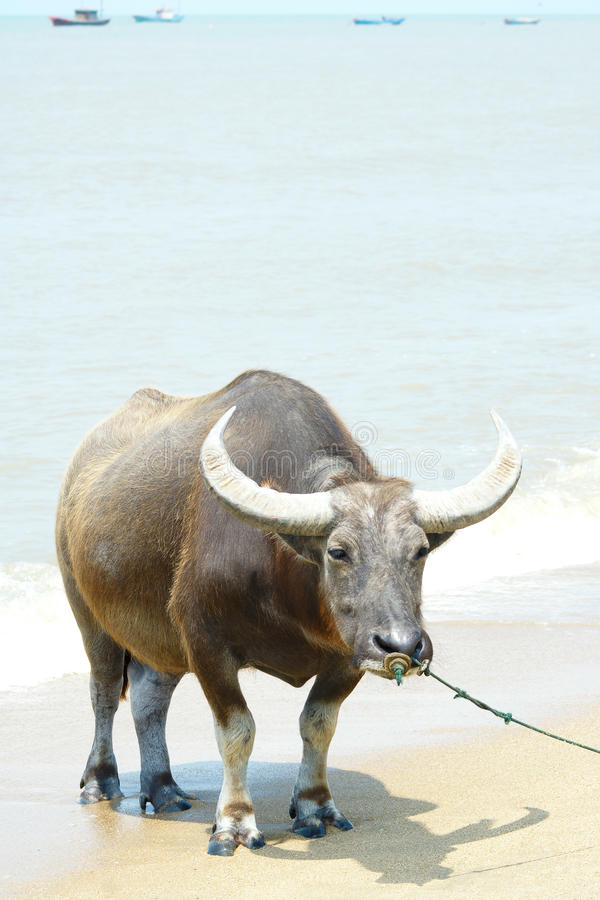 Download Water buffalo stock photo. Image of tropical, beach, sandy - 39510284